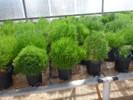 Salicornia 2 Copia