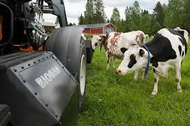 biometano mucche