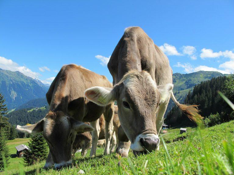 Una filiera sostenibile della carne bovina italiana