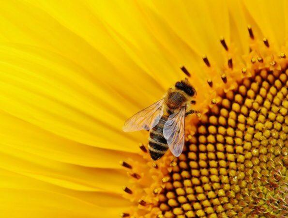 api insetti impollinatori