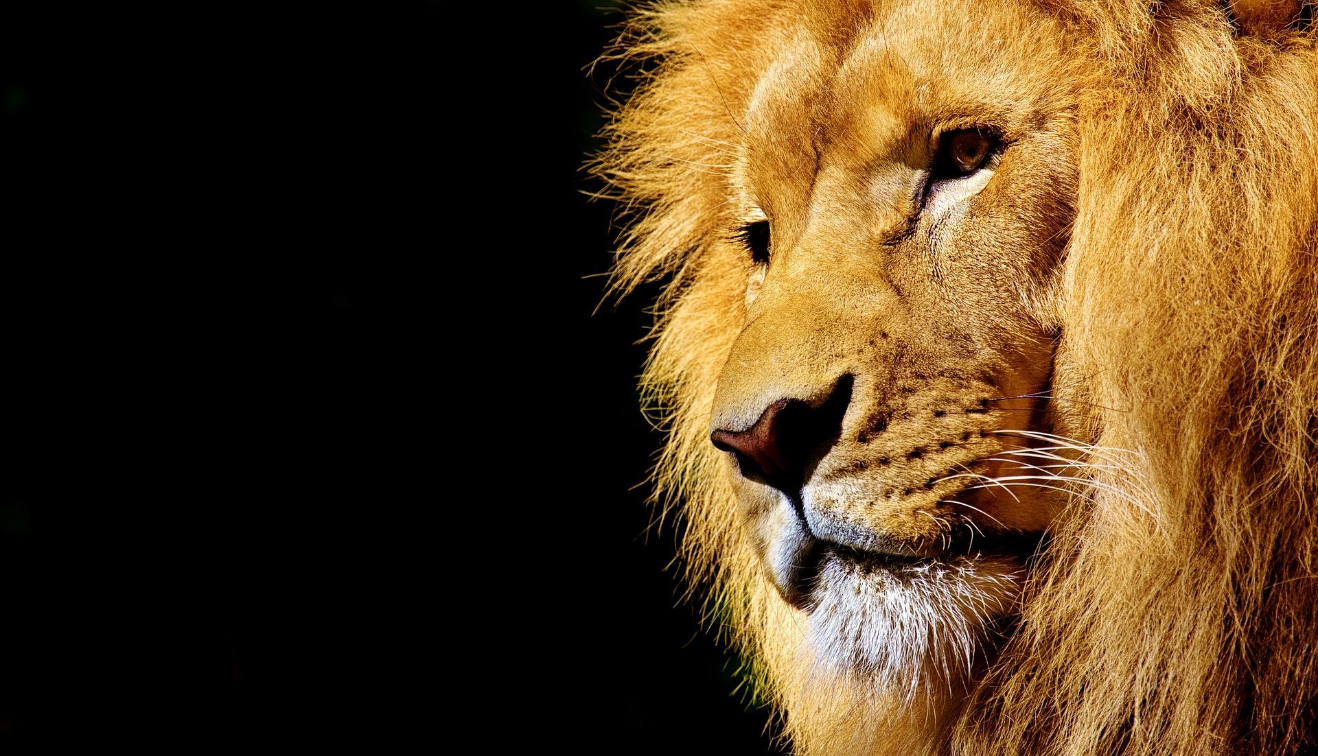 lion-sud africa