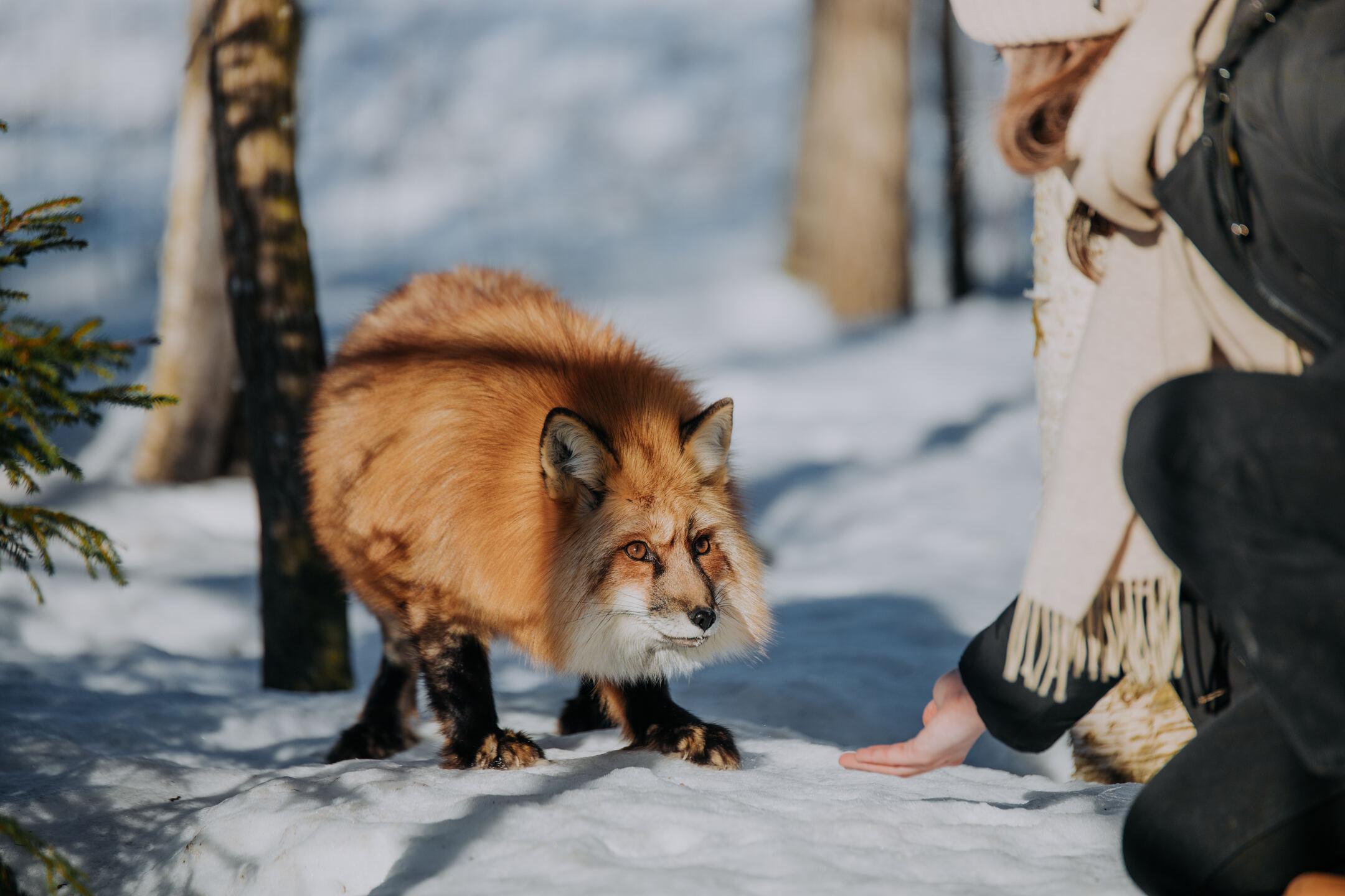 Volpe invernale Lahti