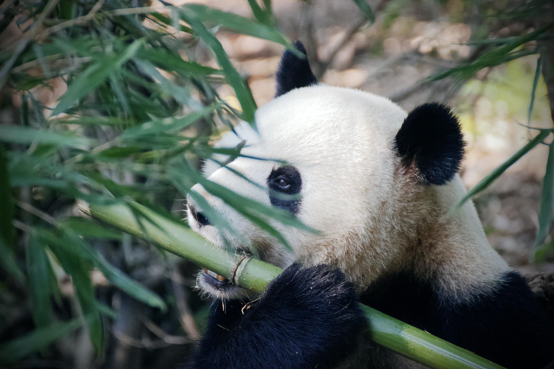panda bambù
